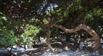 Μαστίχα Χίου ενάντια της οστεοπόρωσης