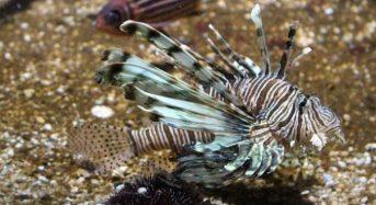 Ανησυχία για επικίνδυνα ξενικά ψάρια στην Ελλάδα – Ετοιμάζεται οδηγός προς τους πολίτες